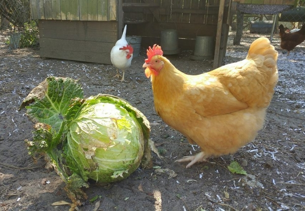 Chickens cabbage
