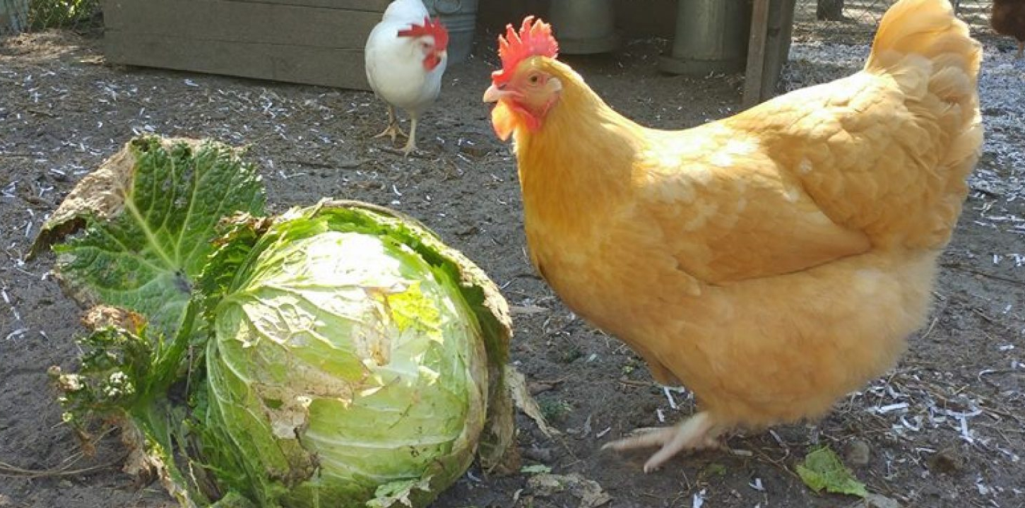 Chicken eating cabbage