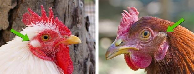 Chicken Ear Lobe_arrows