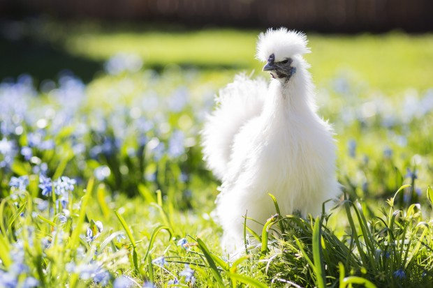 Silkie Chicken | HomeDabbler