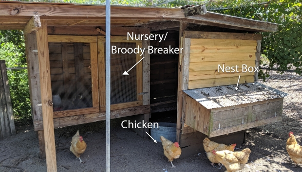 HomeDabbler.com | What to do with a broody chicken, chicken coop