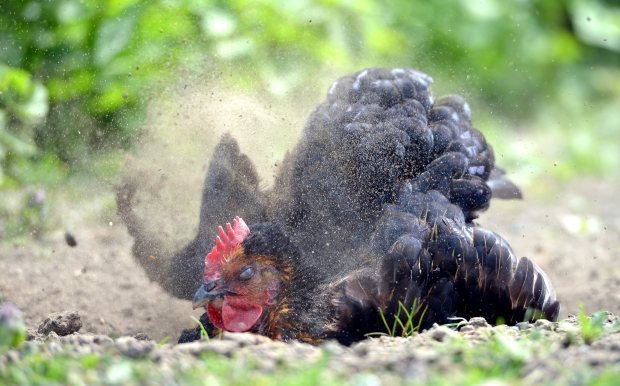 HomeDabbler | Chicken Dust Bathing