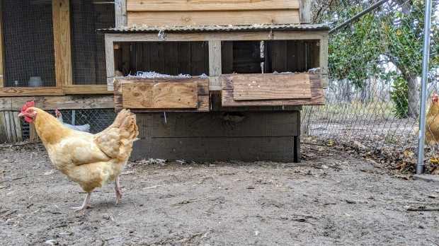 HomeDabbler Blog | Why have my chickens stopped laying eggs?