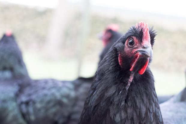 HomeDabbler | Pecking Order is a Thing. Here's What to Do About It.
