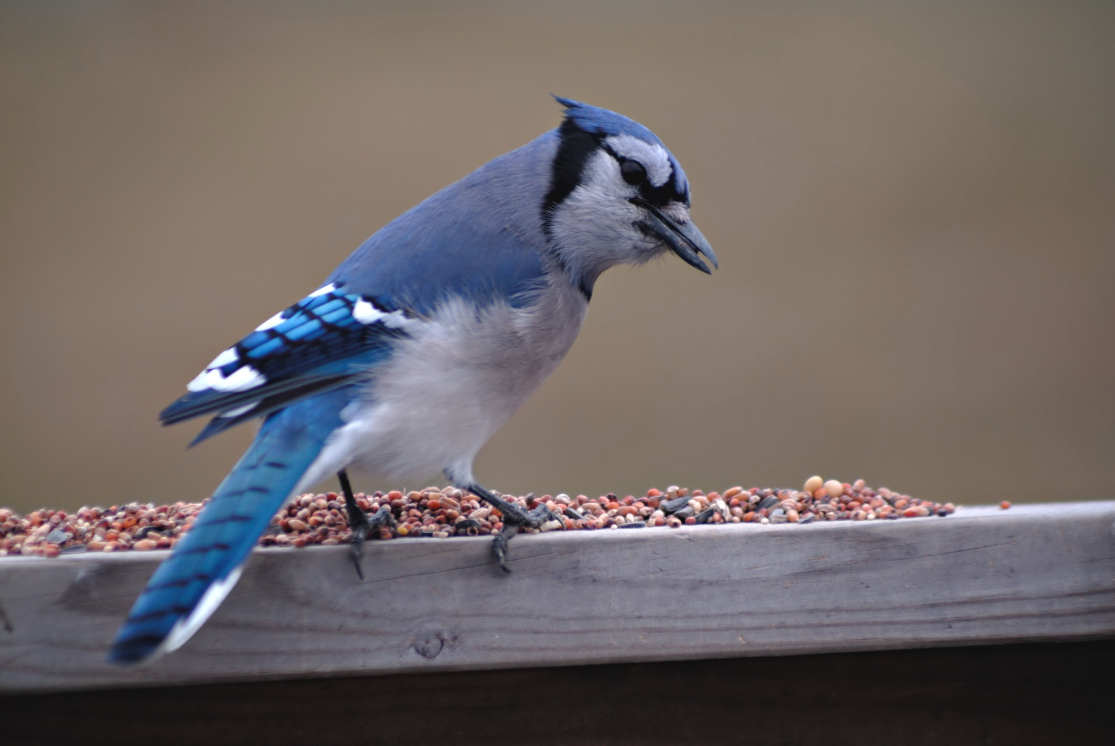 HomeDabbler blue jay eating bird seed