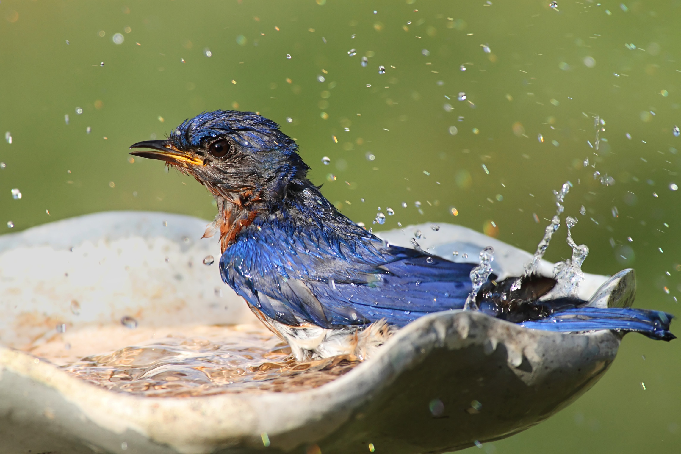 HomeDabbler blue bird taking a bath in a bird bath.
