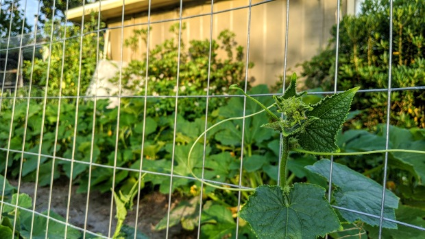 HomeDabbler | 2 x 4 welded wire trellis in garden with cucumber vine climbing up it.