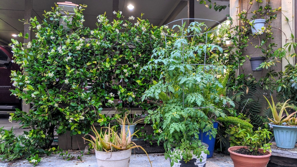 HomeDabbler | Trellis with jasmine vine and potted plants in front.